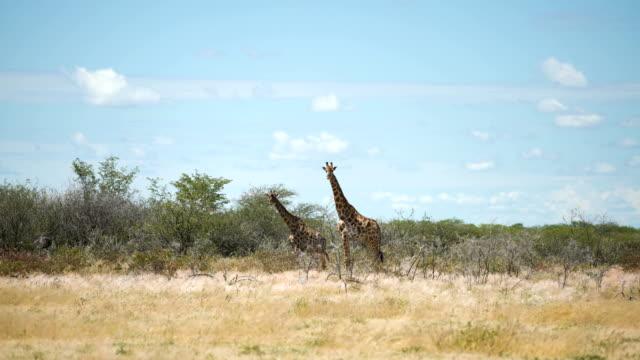 Giraffe herd in the wild video