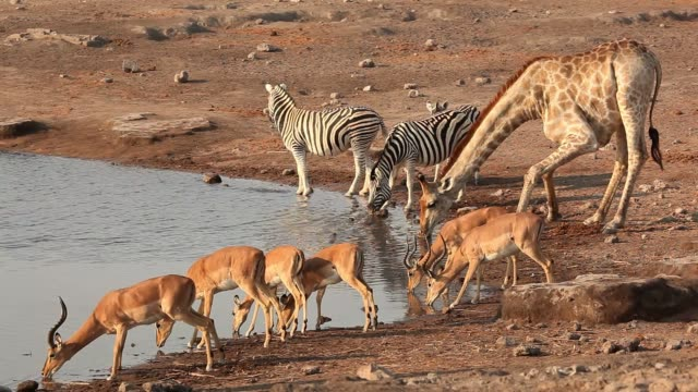 vídeos de stock, filmes e b-roll de uma girafa, antílopes impala e zebras em um poço, parque nacional etosha, namíbia - caldeirão água parada