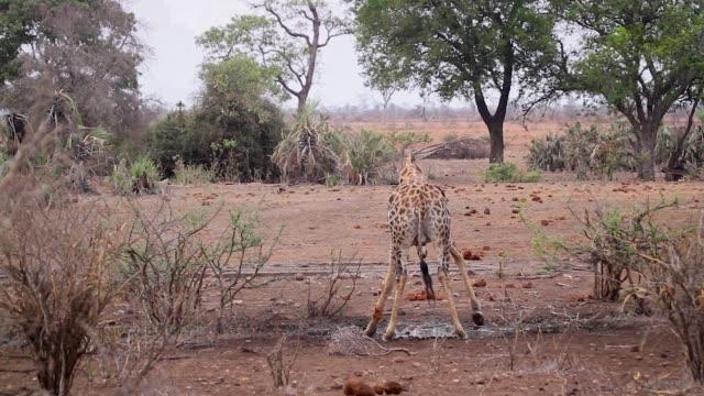 vidéos et rushes de girafe dans le parc national de kruger, afrique du sud - plan d'eau