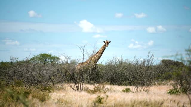 Giraffe in the wild video
