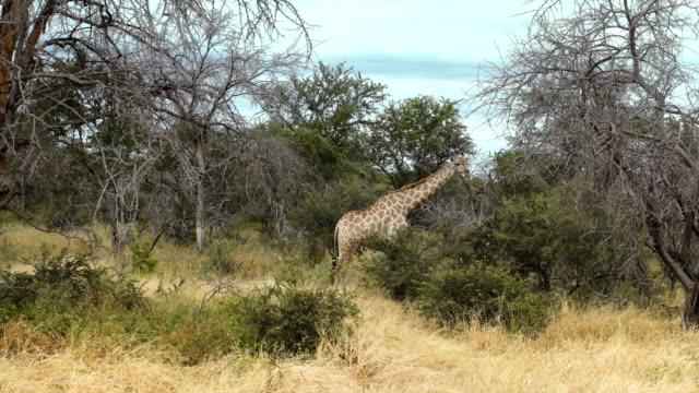 Giraffe in wild. video