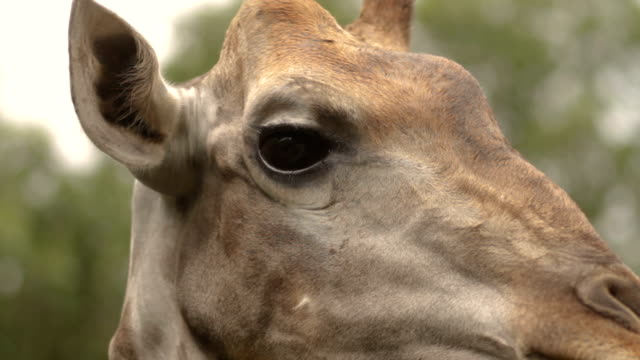 Giraffe Looking At Camera.