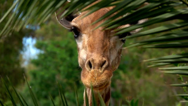 Giraffe Looking Behind the Plant Leaves Giraffe Looking Behind the Plant Leaves tanzania stock videos & royalty-free footage