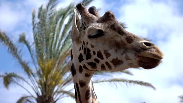 Giraffe portrait in 4k
