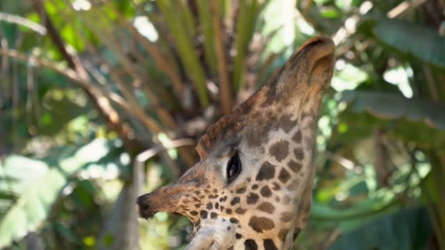 giraffe reaches up with tongue to feed on leaves - fare la lingua video stock e b–roll