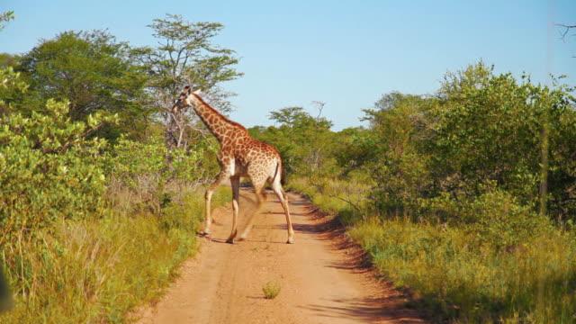 Giraffe Sequence video