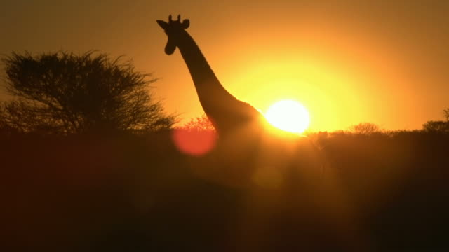 Girafa shilouette no pôr-do-sol - vídeo