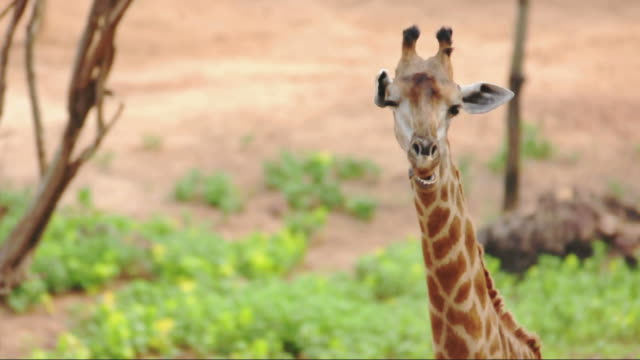 Giraffe standing and post in chewing video