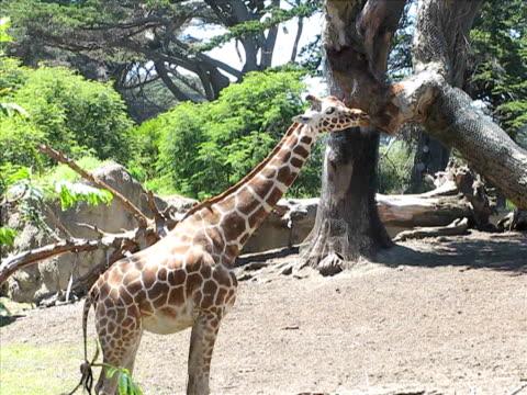 giraffe - aquarium oder zoo stock-videos und b-roll-filmmaterial