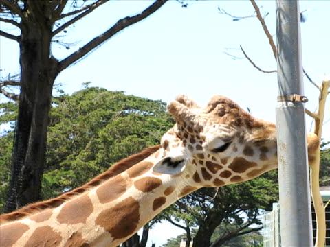 giraffe (pal - aquarium oder zoo stock-videos und b-roll-filmmaterial
