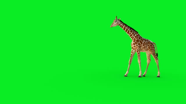a 3d giraffe walking on green screen. - veicolo a due ruote video stock e b–roll
