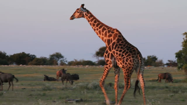 A giraffe walking past buffalo. Pan of a giraffe coloured orange by the setting sun walking past a herd of animals and open savannah in background. south africa stock videos & royalty-free footage