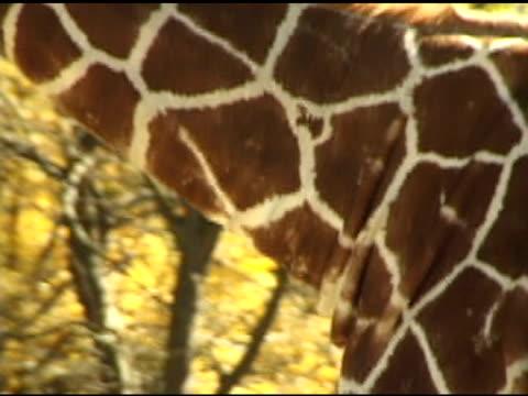 giraffe zu fuß - aquarium oder zoo stock-videos und b-roll-filmmaterial