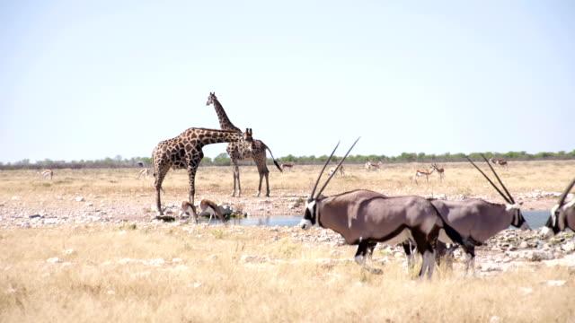 WS PAN Giraffes And Gemsboks By The Waterhole video