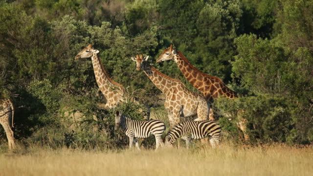 キリンとシマウマの自然の生息地で - 南アフリカ共和国点の映像素材/bロール