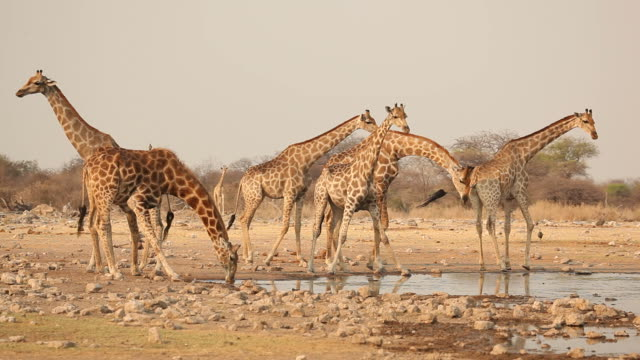 vidéos et rushes de girafes au plan d'eau - plan d'eau