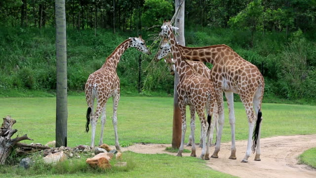 Giraffes Eating Leaves From a Tree video