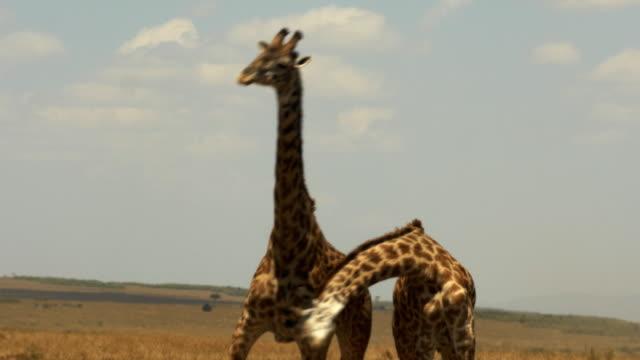 """giraffen engagiert in einer ritualisierten darstellung der dominanz genannt """"einschnürung"""" - großwild stock-videos und b-roll-filmmaterial"""