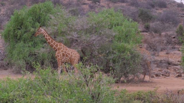 Giraffes Goes In African Savannah, Samburu, Eating The Leaves Of The Trees video