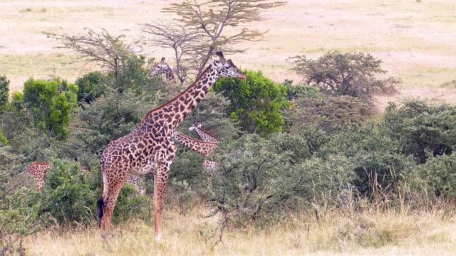 Giraffes Grazing video