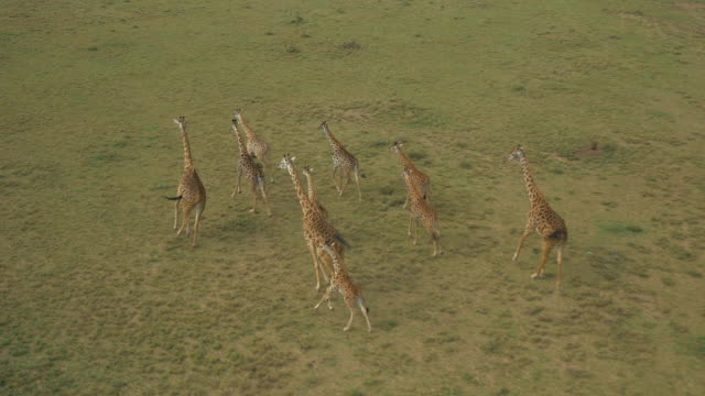 vídeos de stock e filmes b-roll de aerial: giraffes in maasai mara, kenya - quénia