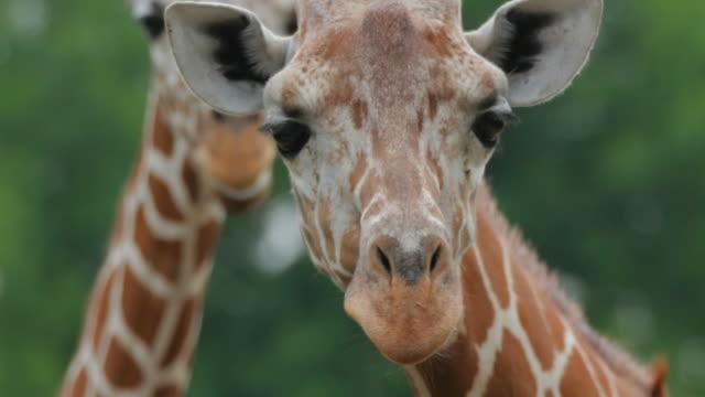 Giraffes lick each other video