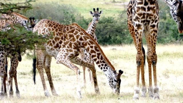 Giraffes Licking (or Eating) freshly killed Wildebeest Skull video