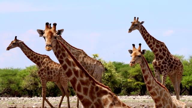 vidéos et rushes de girafes - plan d'eau