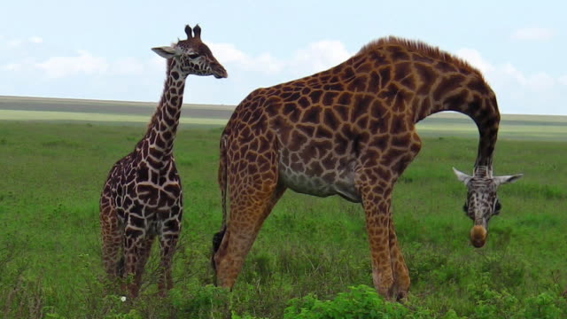giraffes with baby African giraffe family with their baby in the savanna of the Serengeti National Park Tanzania in Africa. tanzania stock videos & royalty-free footage
