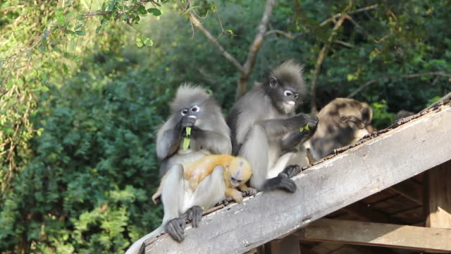 Girl feeding dusky leaf monkey family.