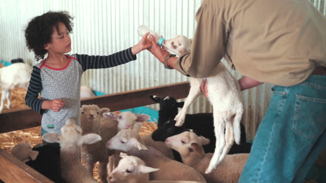 vídeos de stock e filmes b-roll de girl feeding goats with milk in baby bottle - rancho quinta