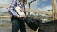 istock A Girl Feeds a Calf 964450228