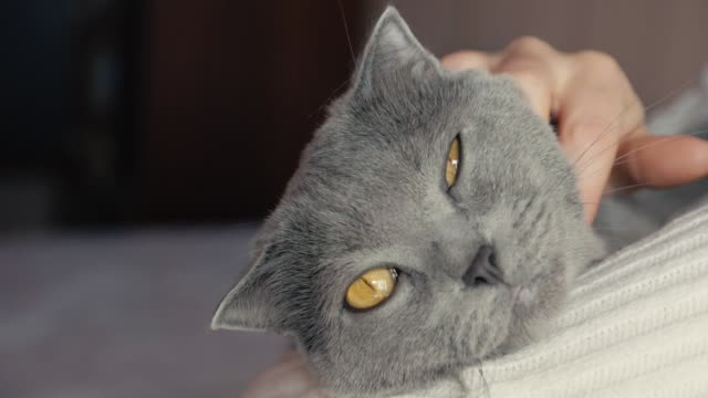 a girl holds a cat in her arms and stroking it. grey british shorthair cat - felino video stock e b–roll