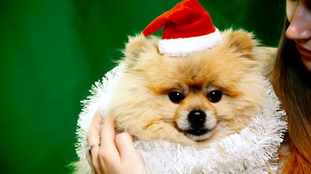 ポメラニアン ポメラニアン犬とクリスマスの帽子の女の子 - 愛玩犬点の映像素材/bロール