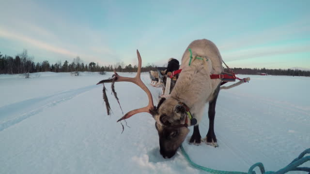 CLOSE UP: Girl in reindeer sled traveling across snowy winter wonderland video