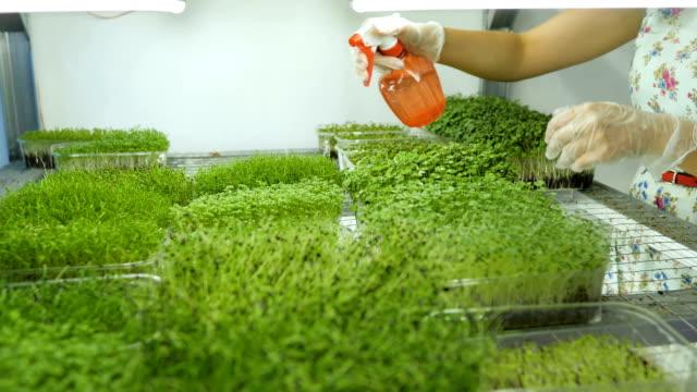 en flicka vattnas mikrogröna groddar närbild i ett modernt växthus. hälsosam kost - pea sprouts bildbanksvideor och videomaterial från bakom kulisserna