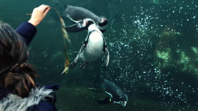 vidéos et rushes de jeune fille payer attraper avec un pingouin apprivoisé - zoo