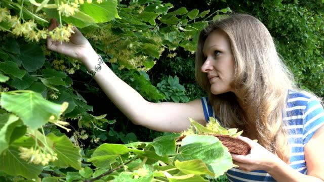 stockvideo's en b-roll-footage met meisje kies linden kruid ingrediënt voor gezonde thee - camelia white