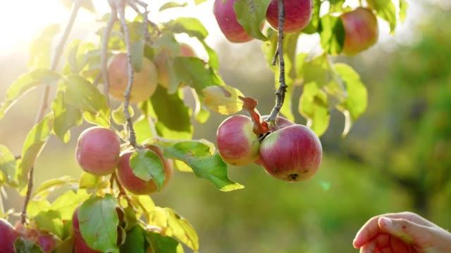 girl picking apples from the tree - jabłko filmów i materiałów b-roll