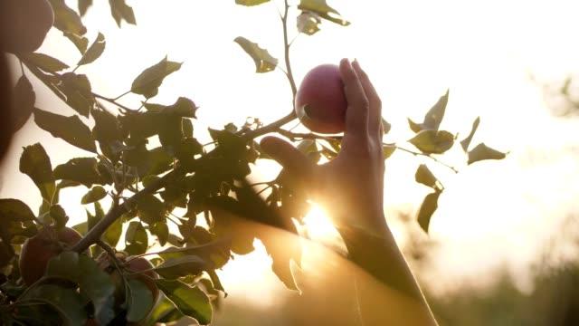 vídeos de stock e filmes b-roll de girl picking red apple from the tree - picking fruit