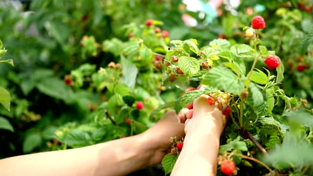 girl picking ripe berries video