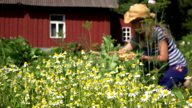 girl reap small medicine camomile in summer garden near home. FullHD video