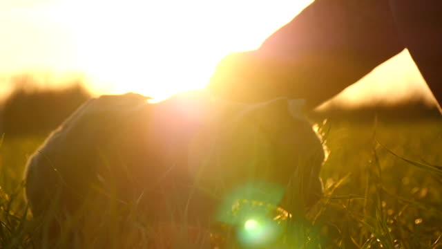 A girl stroking a British breed cat in a field at sunset in the sun video