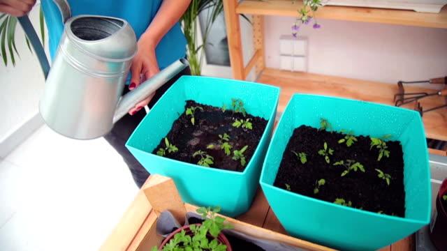 vidéos et rushes de fille en prenant soin de plantes cultivées accueil / épices. - plante aromatique