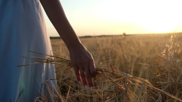 girl walking on a wheat field. He holds the stems in his hand.