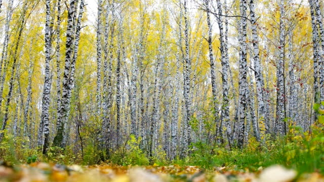 girl with red handbag appears in frame walks to gold birches