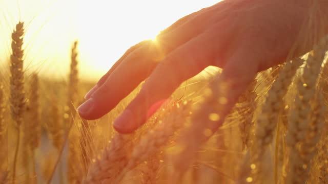 vidéos et rushes de macro lens flare: la main de la fille touchant le beau blé au coucher du soleil doré magnifique - membre partie du corps