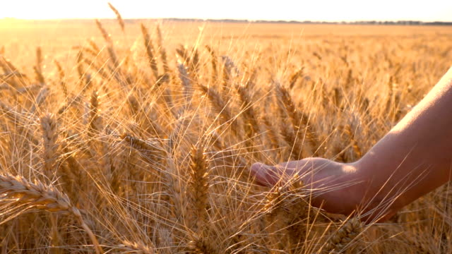 Girl's hand touching golden ears of wheat at sunset video