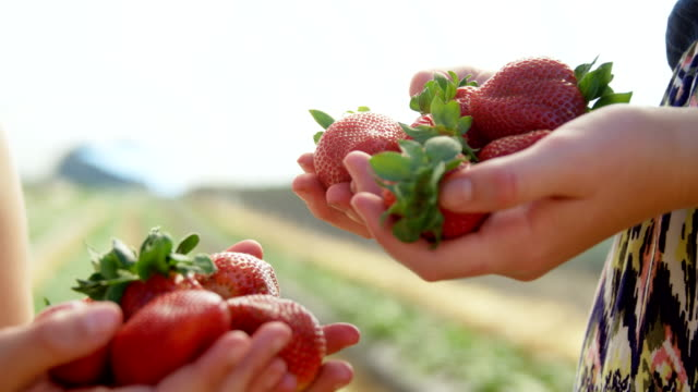 vídeos de stock e filmes b-roll de girls holding strawberries in the farm 4k - strawberry