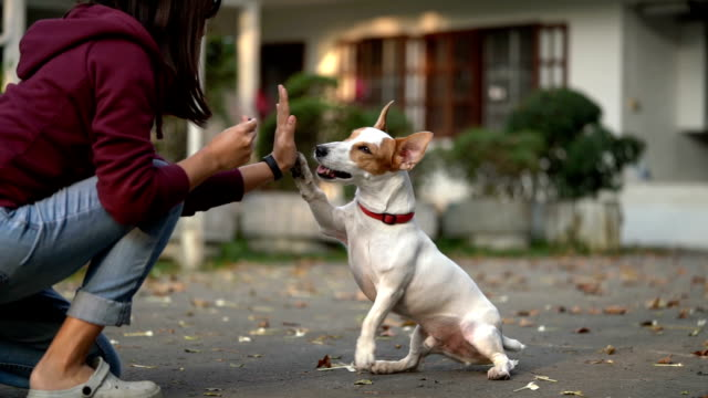 slomo sa jrt giving high-five for treat - cagnolino video stock e b–roll